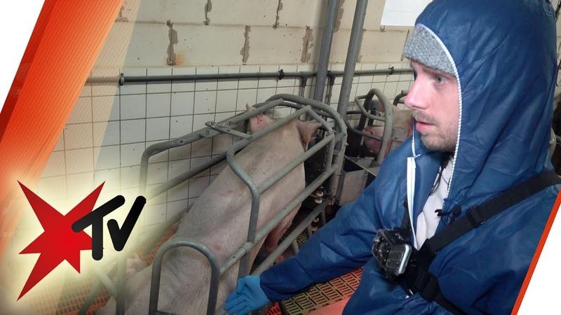 Youtuber in Schweinezucht So schockiert sind sie von den Zuständen Vegan ist ungesund stern TV