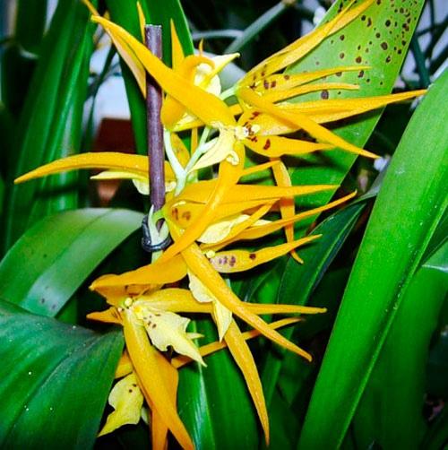 Орхидея Брассия Орхидею эту называют паучком. У нее покрытые темными пятнами, необычные, но красивые цветы. Брассия (Brassia) род многолетних орхидей. Растения эпифитные. В роду около 34 видов.