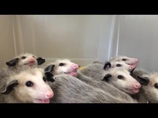 Opossums eating bananas