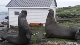 Elephant Seal Battle for the right to mate