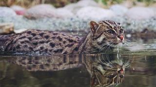 Вивверовый кот - хищный ныряльщик и настоящий рыболов! Интересные факты о коте-рыболове.