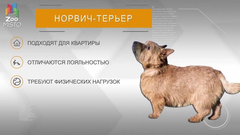 Норвич терьер Все о породе собаки