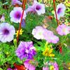 Рассада, цветы, тюльпаны, овощи Парк Цветов