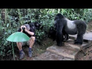 ...))))) Невероятный шанс столкнуться с  дикими горными гориллами в УГАНДЕ