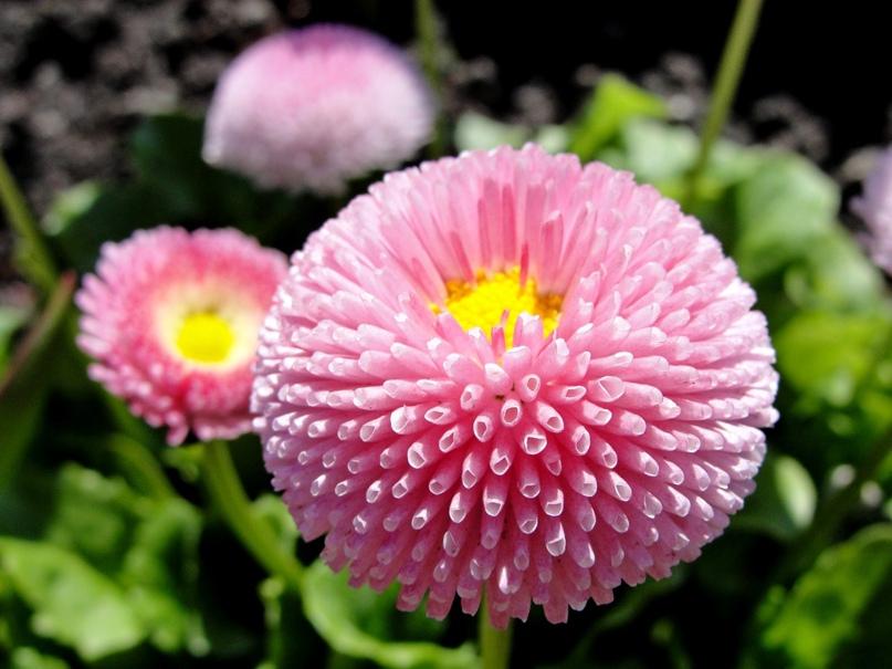 Какие цветы сажают на рассаду в феврале?, изображение №6