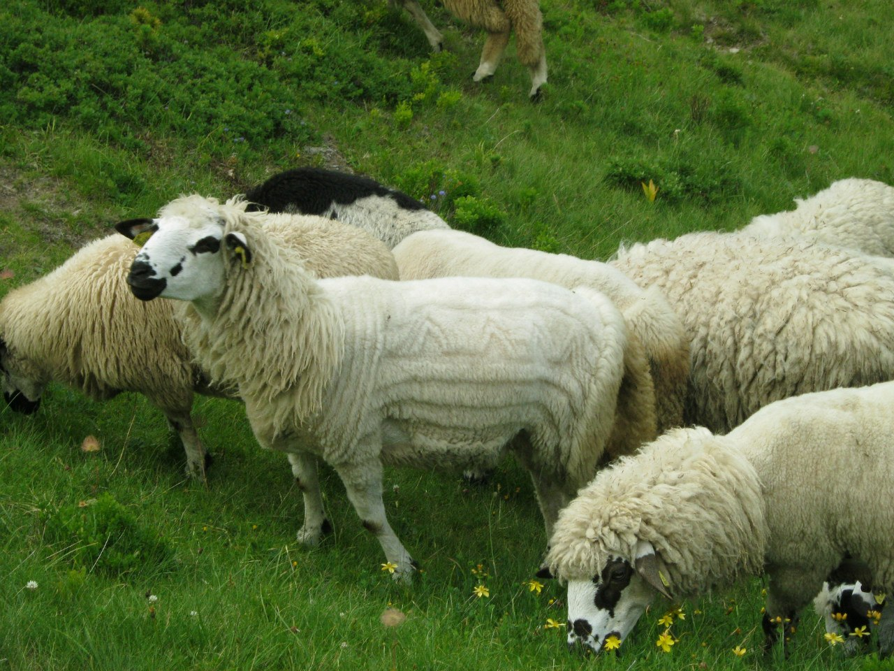 пастухи красиво стригут овец
