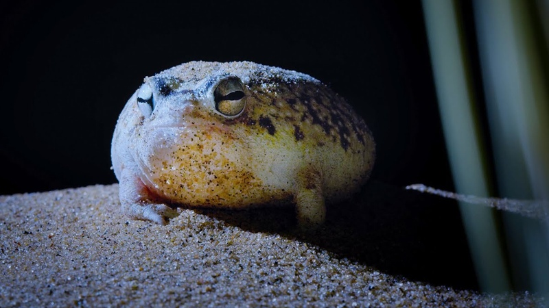 Tiny Frog Faces Night Full Of Terrors Eden Untamed Planet BBC Earth