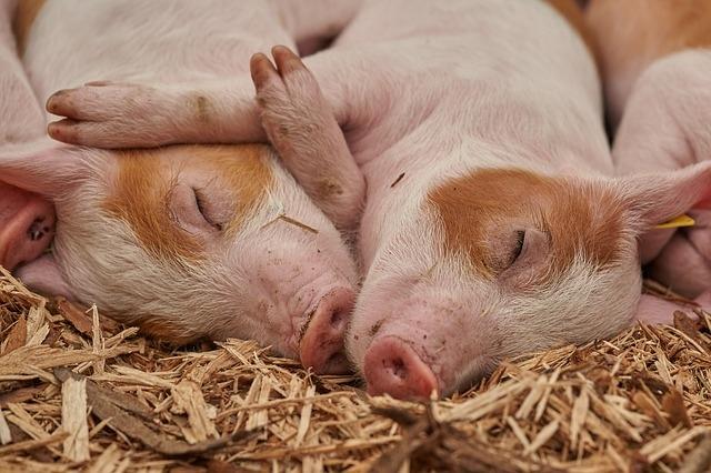 Двух свиноводов посадили в тюрьму за контрабанду спермы
