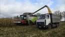 Claas Lexion 770 убирает кукурузу в СПК Гигант
