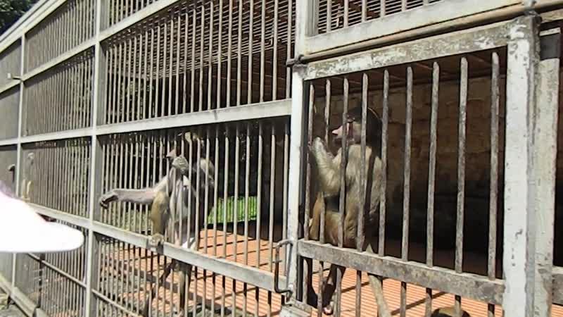 DSCN3542 Сухумский обезьянник - гамадрилы.