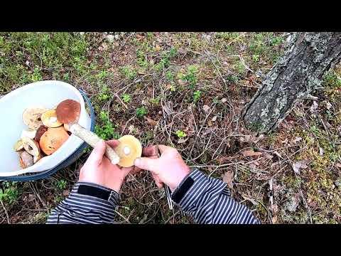Карелия Осень Тихая Охота Прогулка Грибы По лесной дороге за грибами Медведь где то рядом