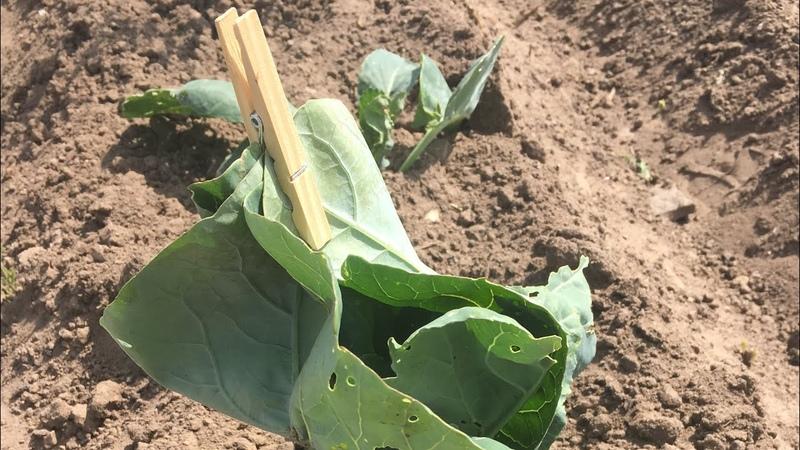 Окучивание капусты лайфхак с цветной капустой